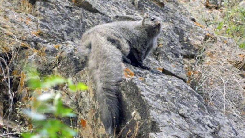 Woolly Flying Squirrel