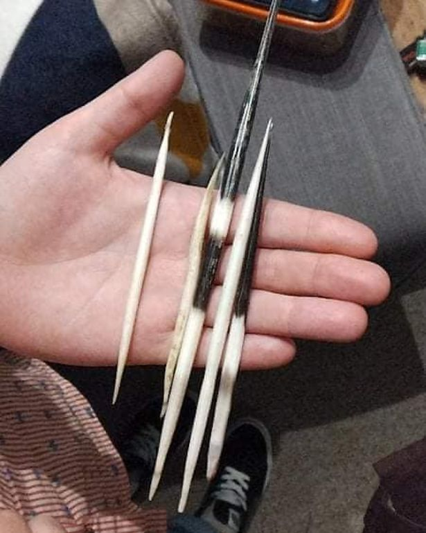 A handful of porcupine quills