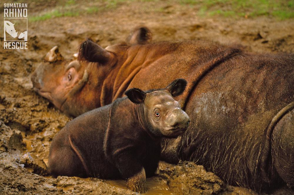 Sumatran rinos