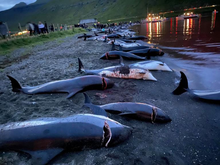 Dolphins murdered by Faroe islanders