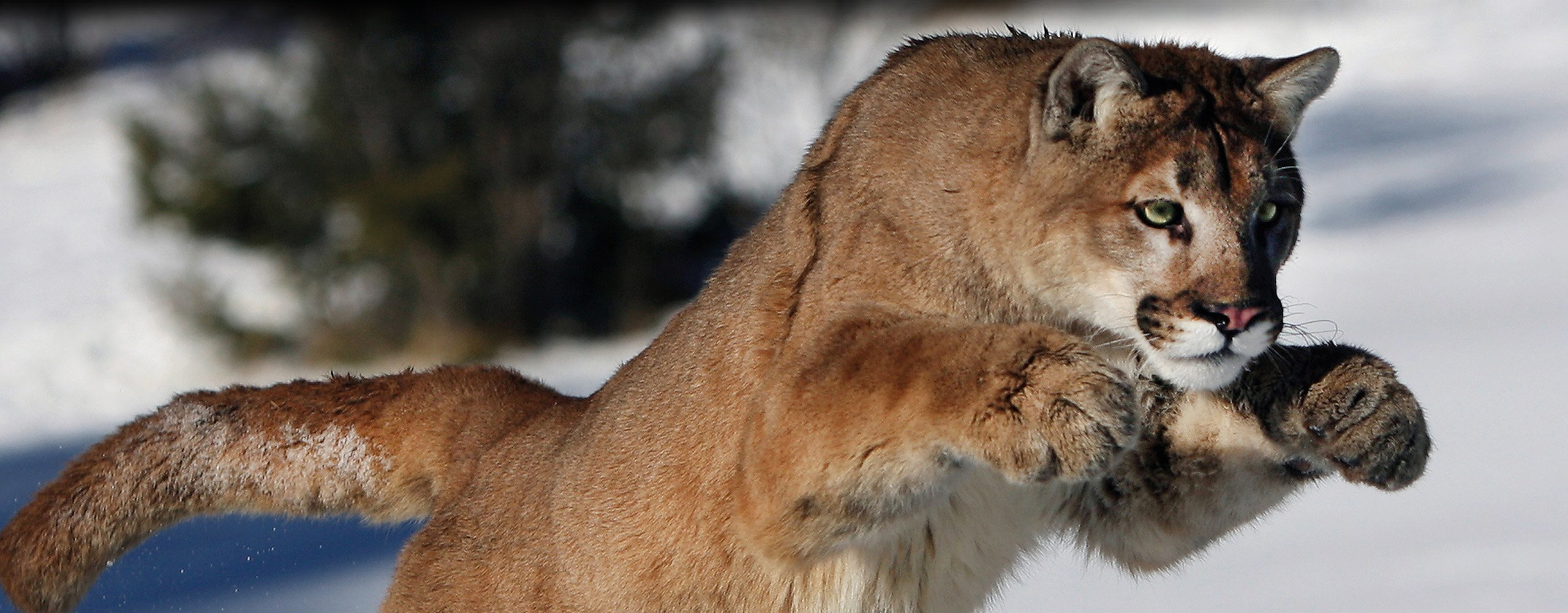 Puma of mountain lion