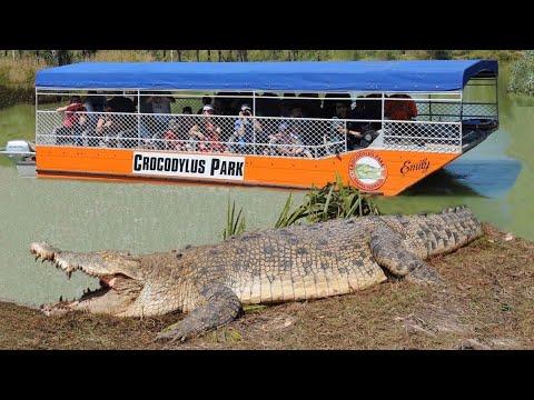 Huge saltwater crocodile basks near tourist boat.