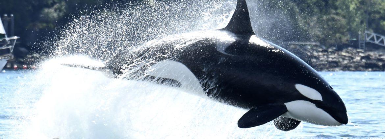 Bigg's killer whale